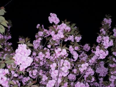 八重桜2010-03.jpg