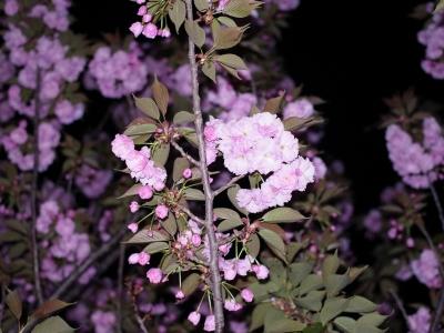 八重桜2010-04.jpg