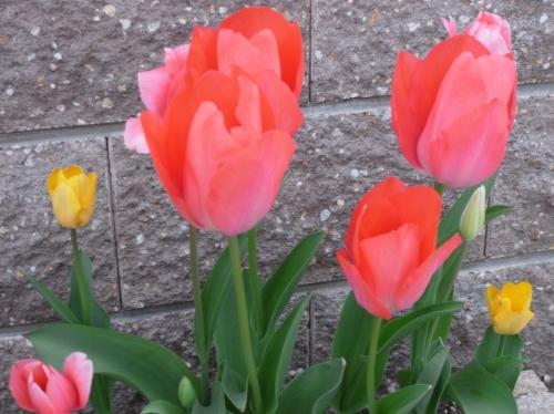 Tulipa2010-04.jpg