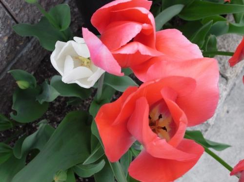 Tulipa2010-06.jpg
